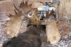 moose# 2